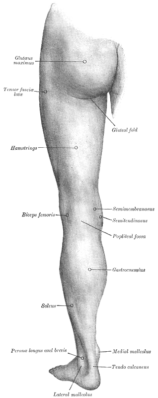 Hamstring Injury Anatomy