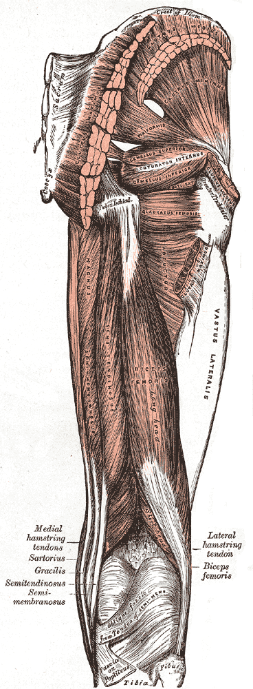 Hamstring Injury Muscle