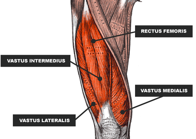 Image result for quadriceps